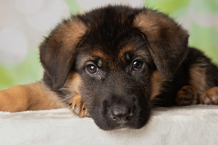 German Shepherd Puppies for Sale for sale Philippines ...