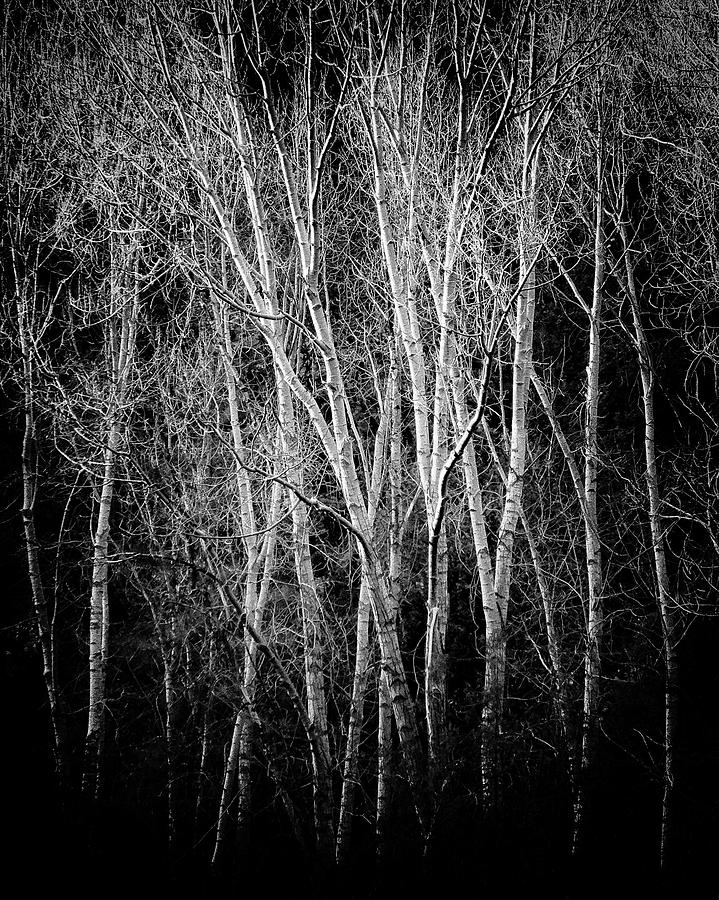 Trees Photograph - Ghost Aspens by Candy Brenton