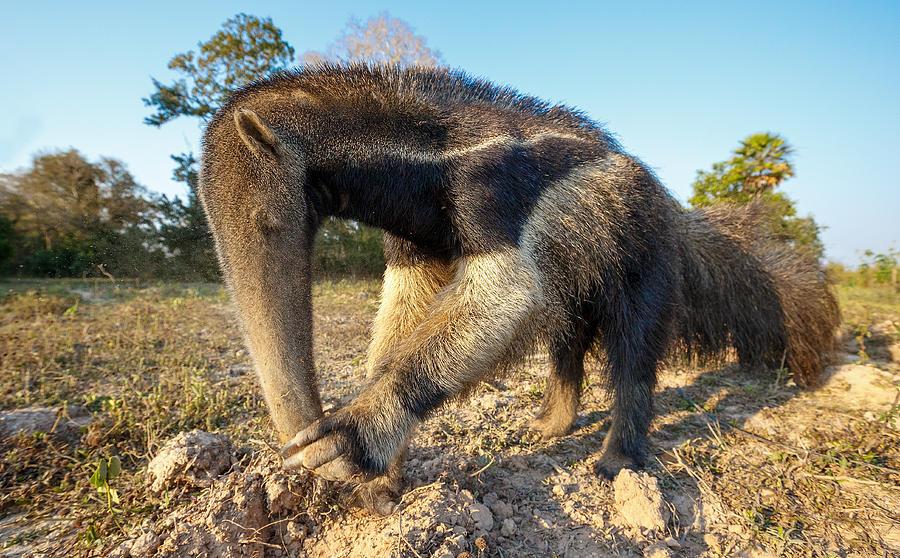 Giant ant eater Photograph by Alexandr Sanin