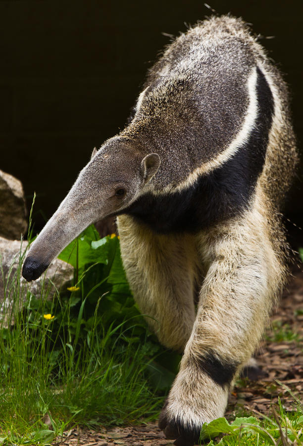 Giant anteater Photograph by Peter Orr Photography