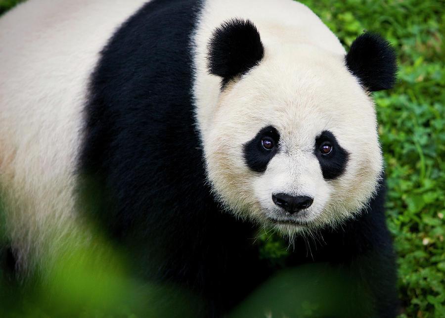 Giant Panda Up Close Photograph