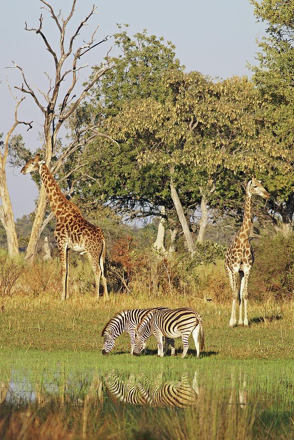 Giraffe Photograph - Giraffe and Zebra Reflection by MaryJane Sesto