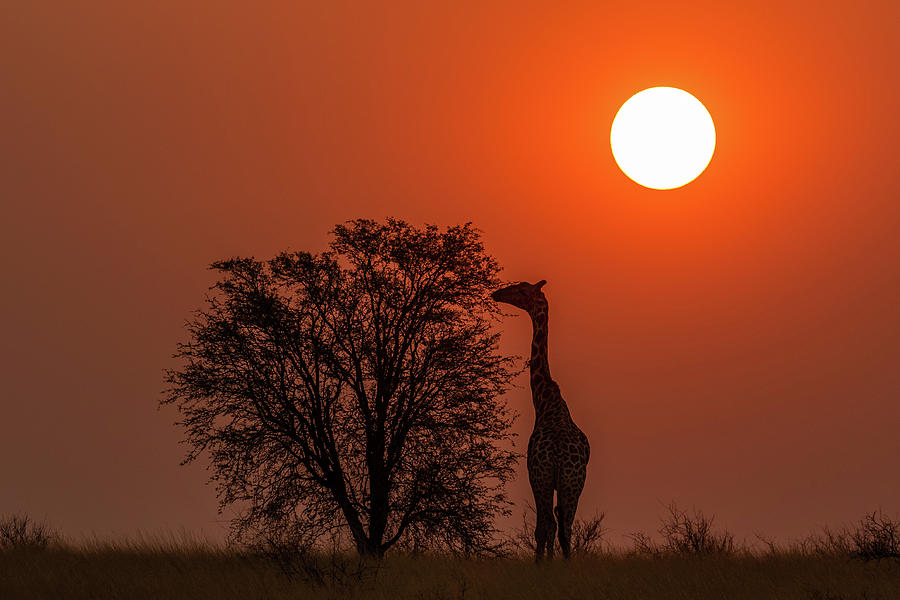 Giraffe Photograph - Giraffe at Sunset by MaryJane Sesto