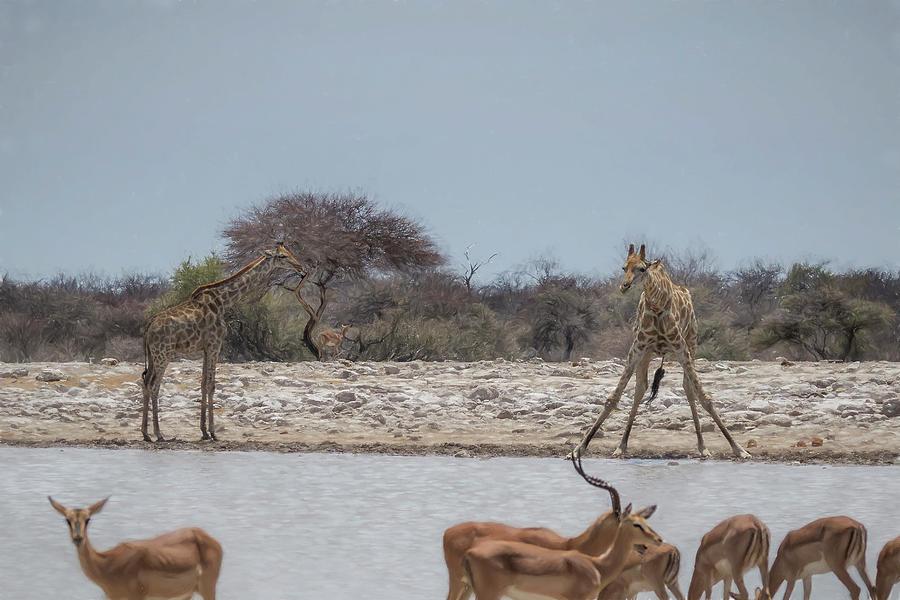 Giraffe Bending to Get a Drink at Klein Namutoni by Belinda Greb