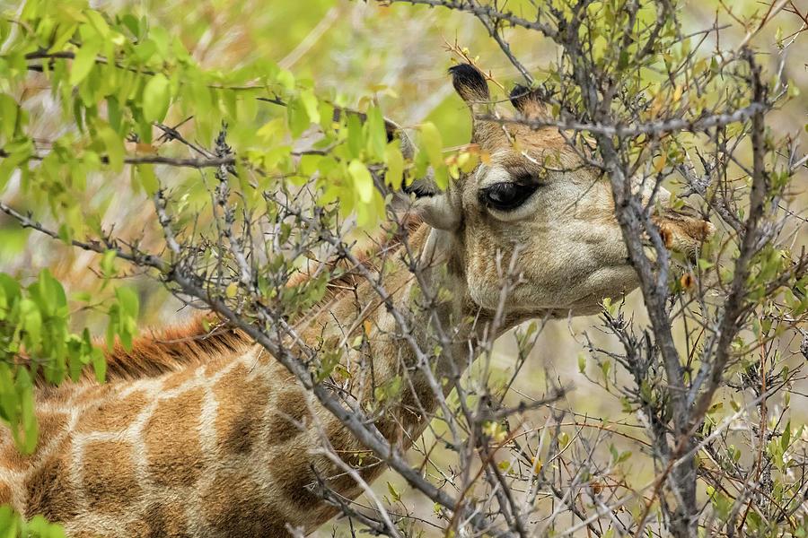 Giraffe Dining on Leaves by Belinda Greb