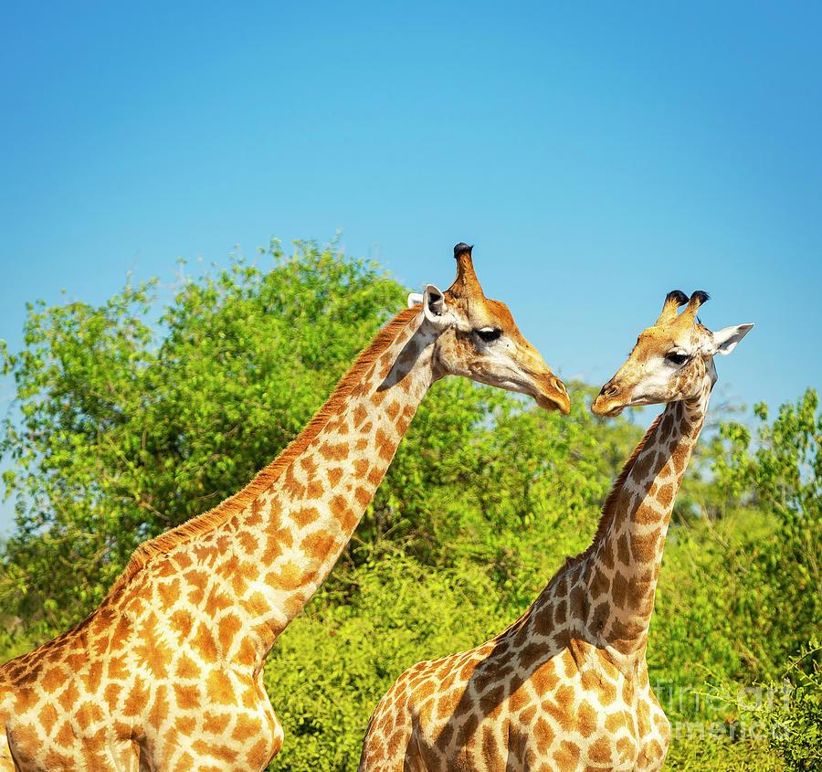 Giraffe In Africa Photograph