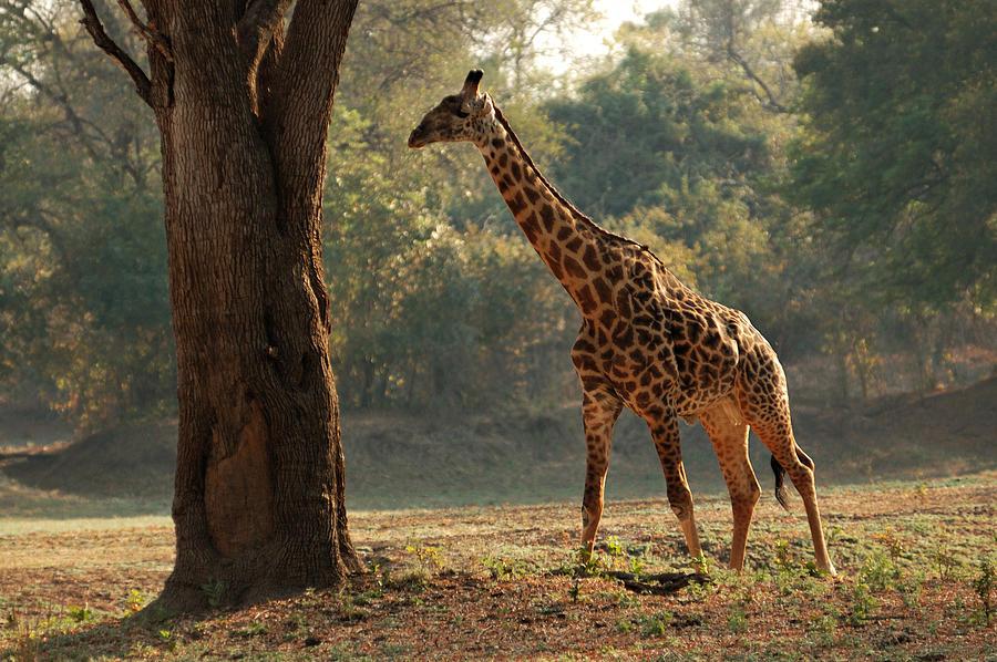 Giraffe in morning Photograph by © Pascal Boegli