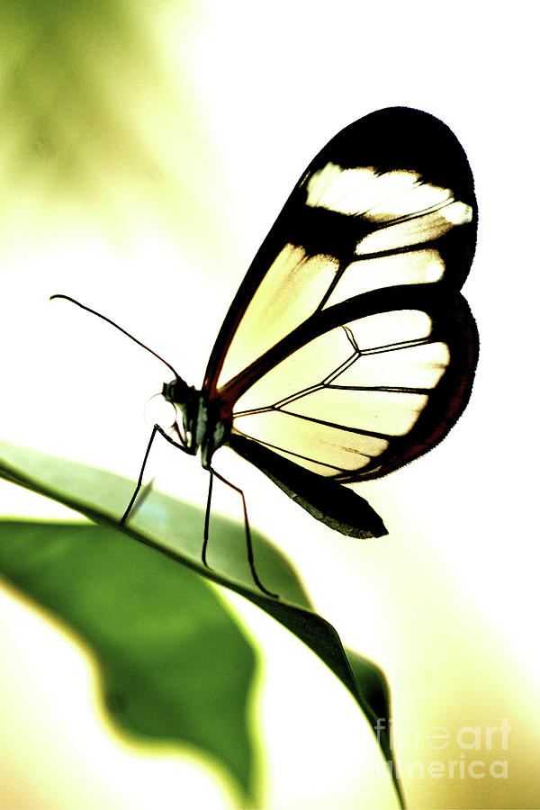 Glasswing Butterfly On A Leaf Photograph