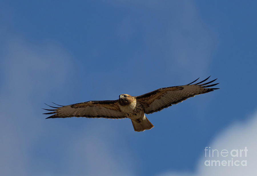 Gliding Colorado Red-tailed Hawk Photograph