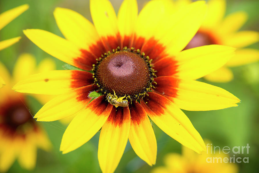Gloriosa Daisy And Bee Photograph