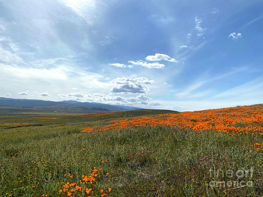 Glorious Fields Of Poppies Photograph