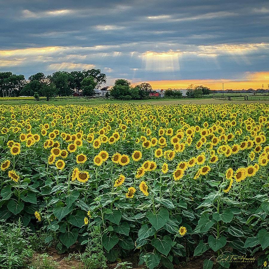 Sunflowers Photograph - God Light Over the Fields by Carol Fox Henrichs