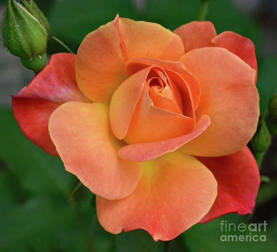 Gods Perfection In A Josephs Coat Of Many Colors Rose Photograph