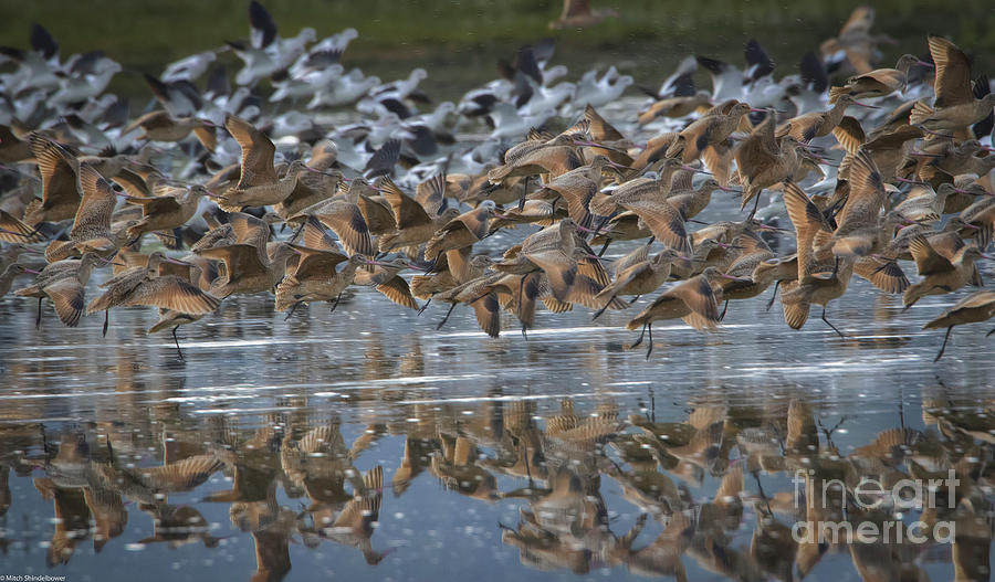 Godwits And Avocet Photograph