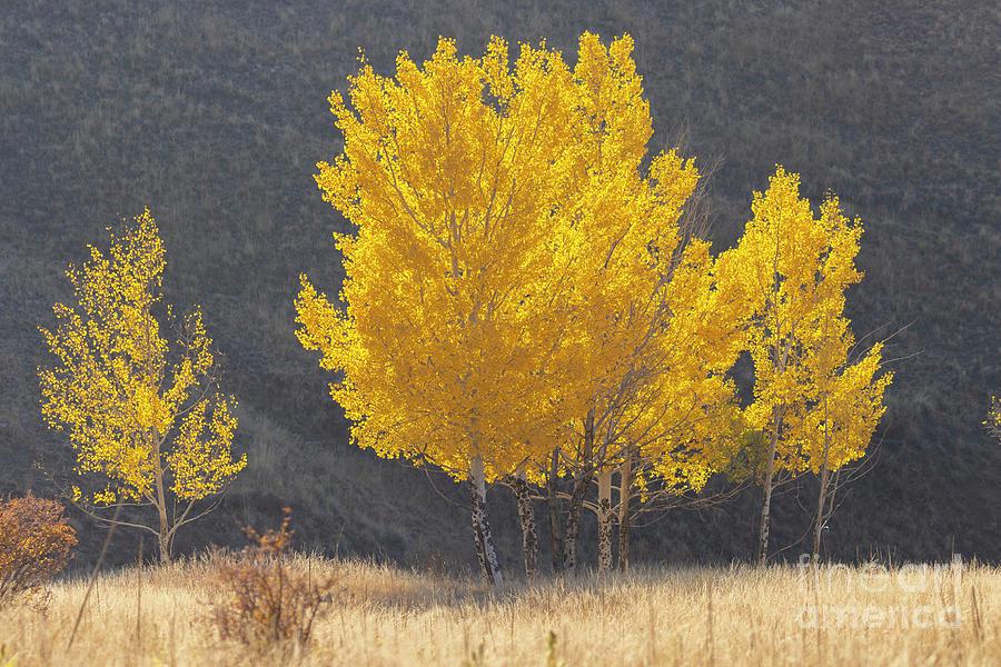 Golden Aspen Wilderness Photograph