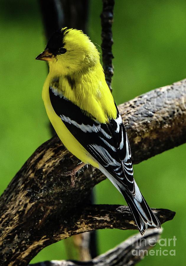 Golden Boy Posing - American Goldfinch Photograph