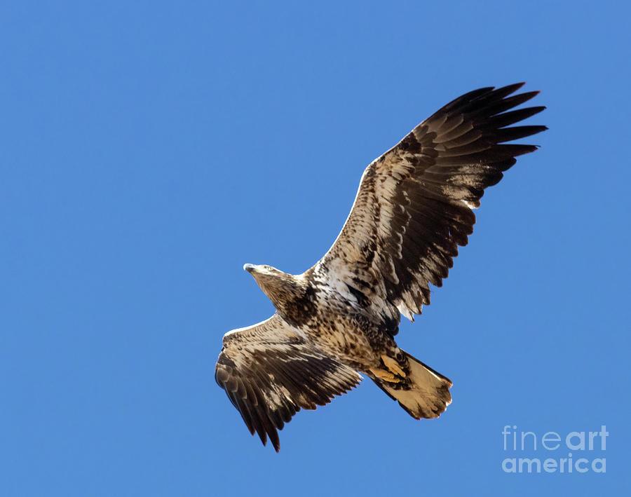 Juvenile  Bald Eagle Soaring Overhead Photograph