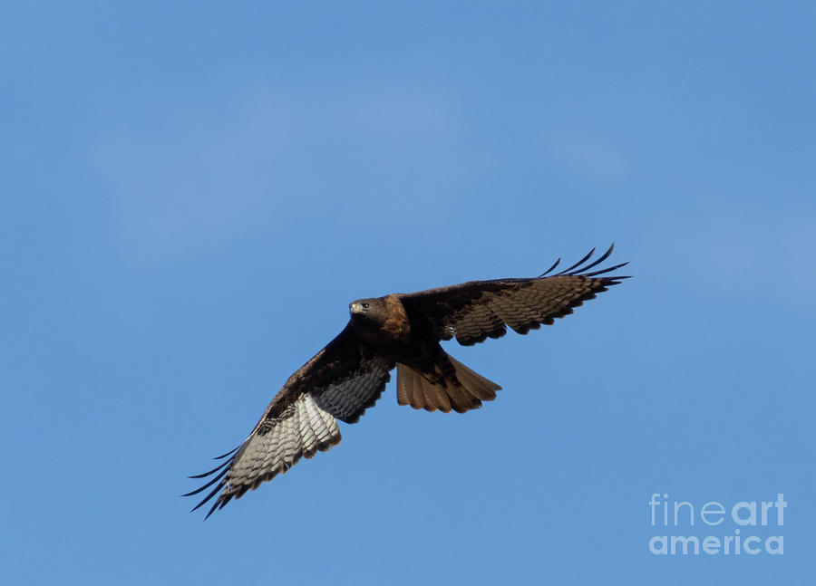 Red-tailed Hawk Winging It Photograph