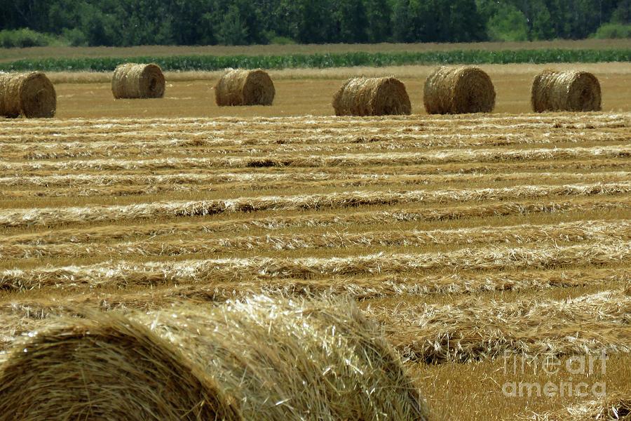 Golden Harvest Photograph
