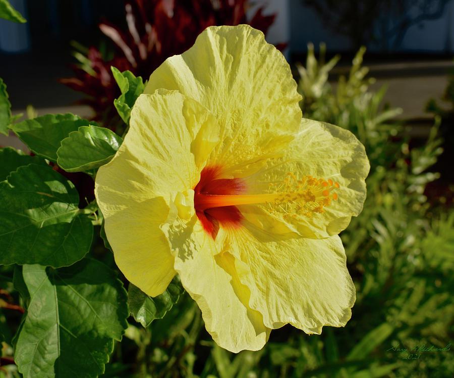 Golden Hibiscus In Hawaii Photograph