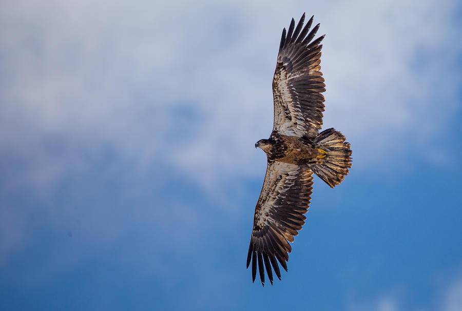 Golden Immature Eagle Photograph by JenDeVos
