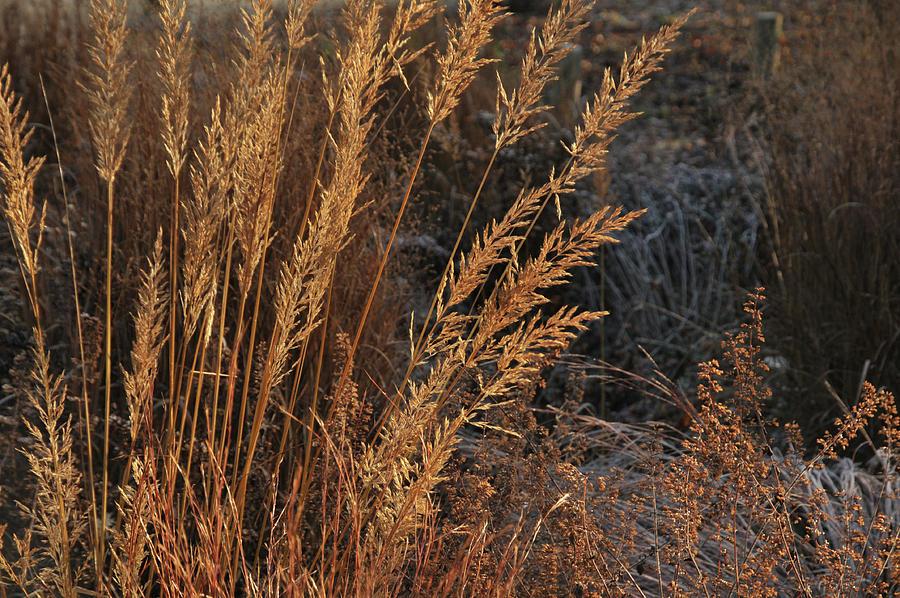Golden Reed Grass Photograph