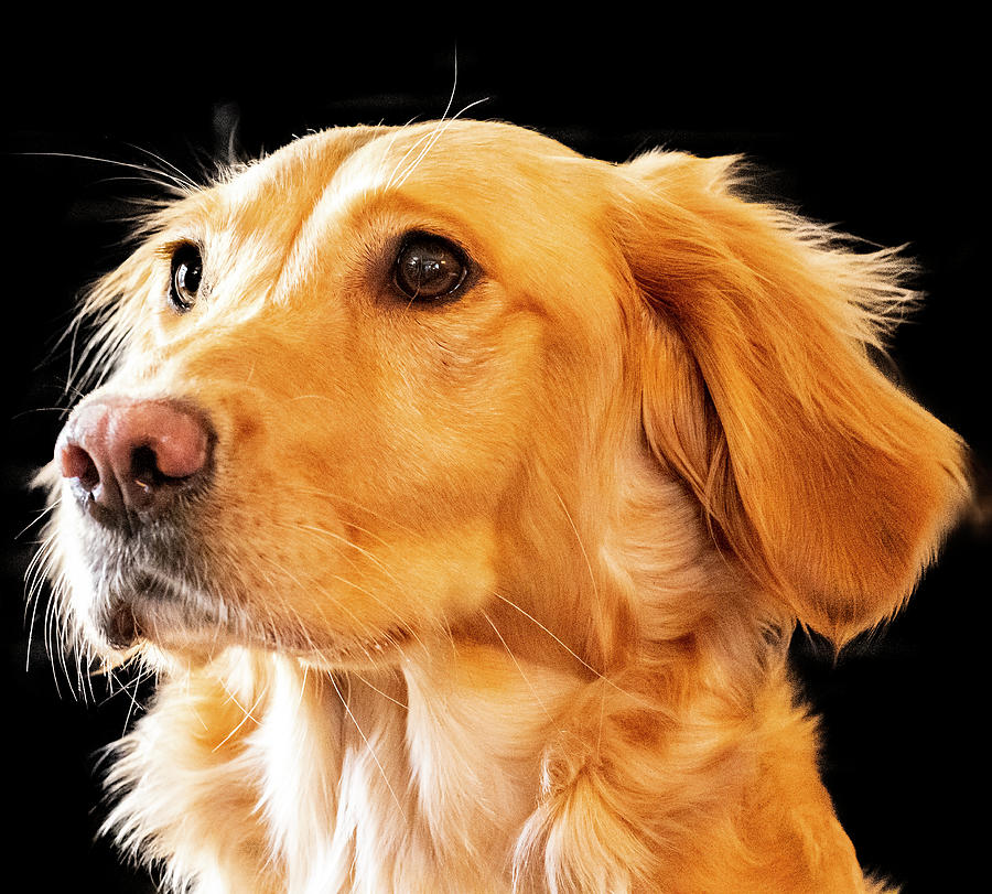 Golden Retriever by Philip Rispin