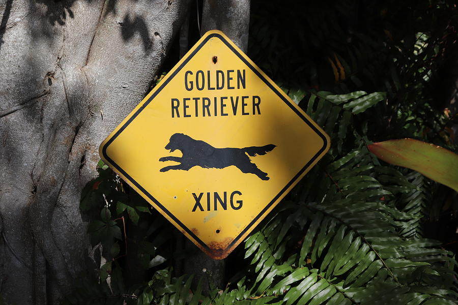Golden Retriever XING by Blair Damson