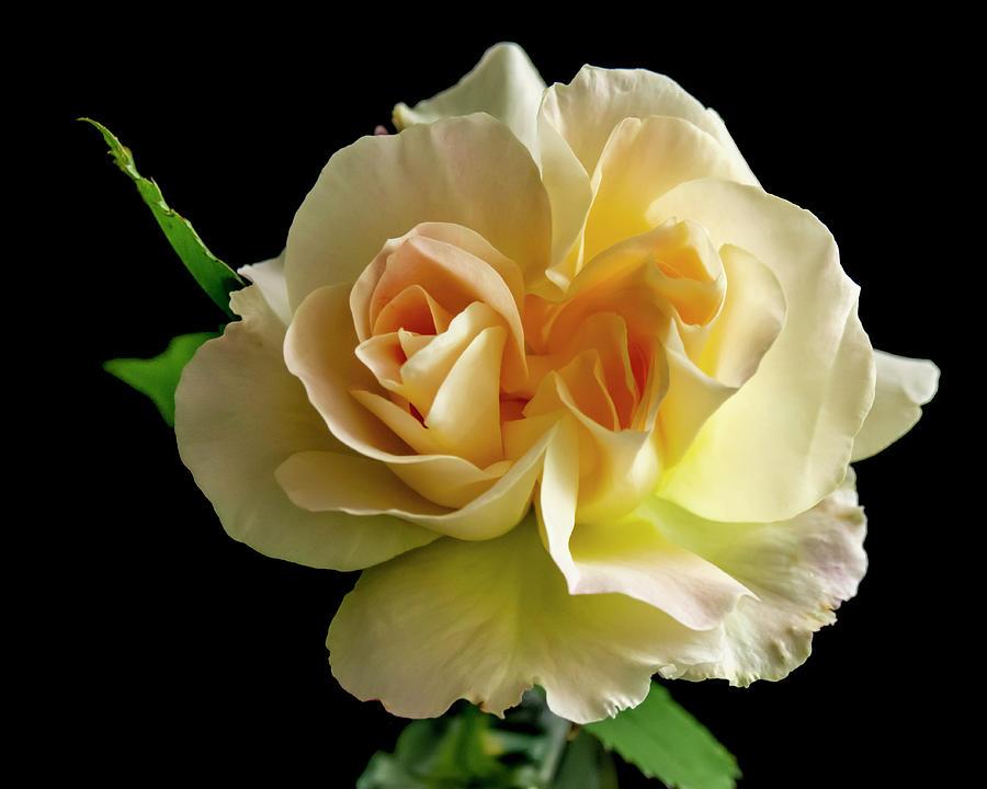 Golden Rose Photograph