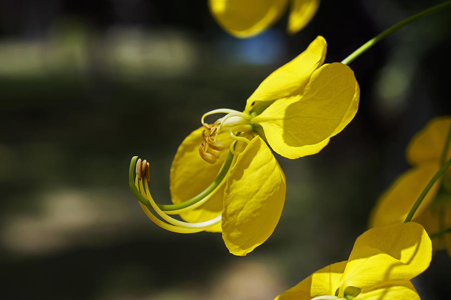 Golden shower tree flower detail Photograph by Wagner Campelo