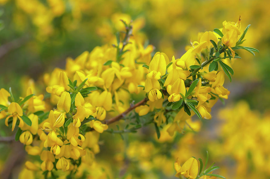 Golden Silkyleaf Broom 1 by Jenny Rainbow