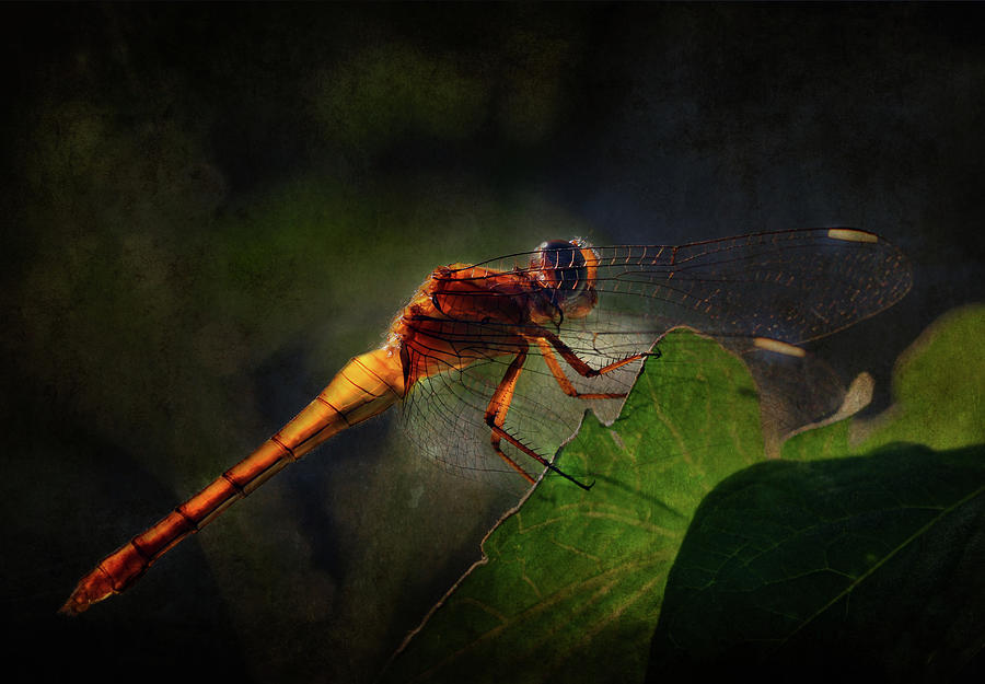 Australian Native Photograph - Golden Translucent Dragonfly by Siene Browne