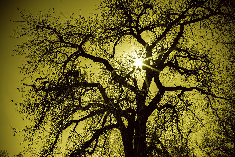Golden Tree Star Photograph
