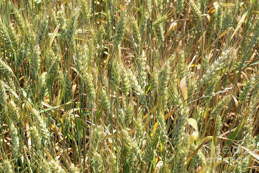 Golden Wheat Photograph by Eden Watt