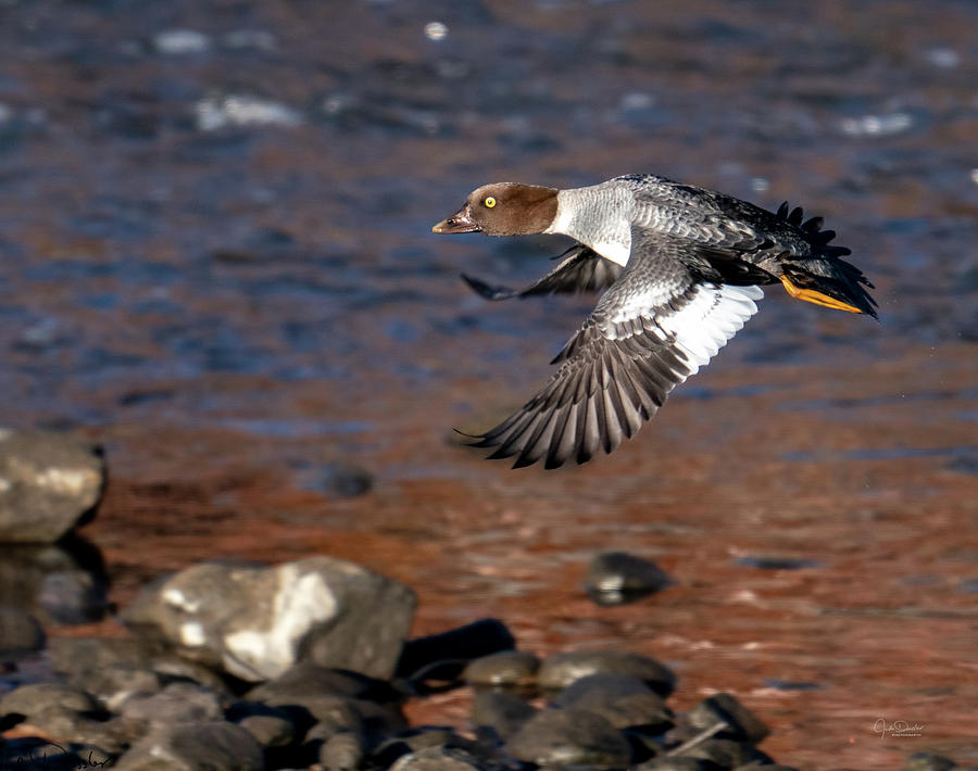 Goldeneye Duck over the Stream by Judi Dressler
