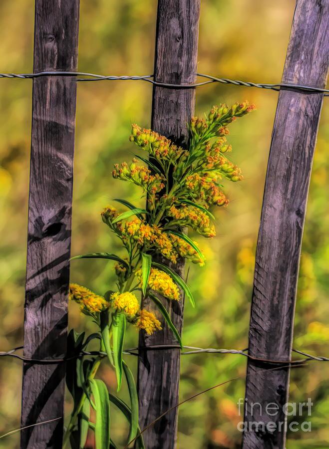 Goldenrod On Fence by Karen Silvestri