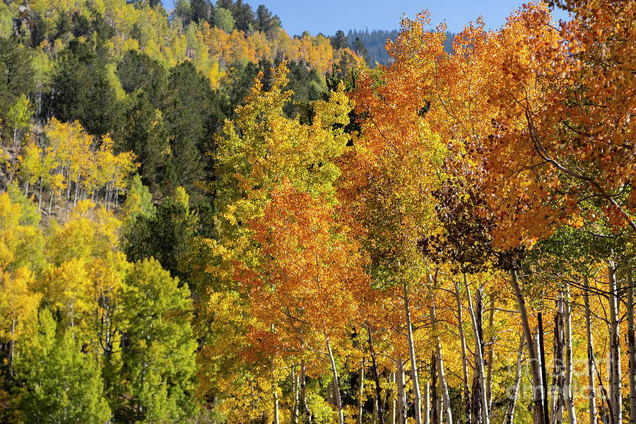 Goldfield Autumn And Red Aspen Photograph