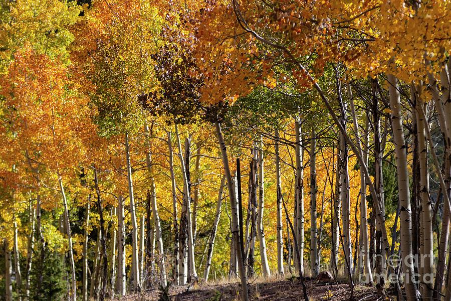 Goldfield Autumn Aspen Stand Photograph