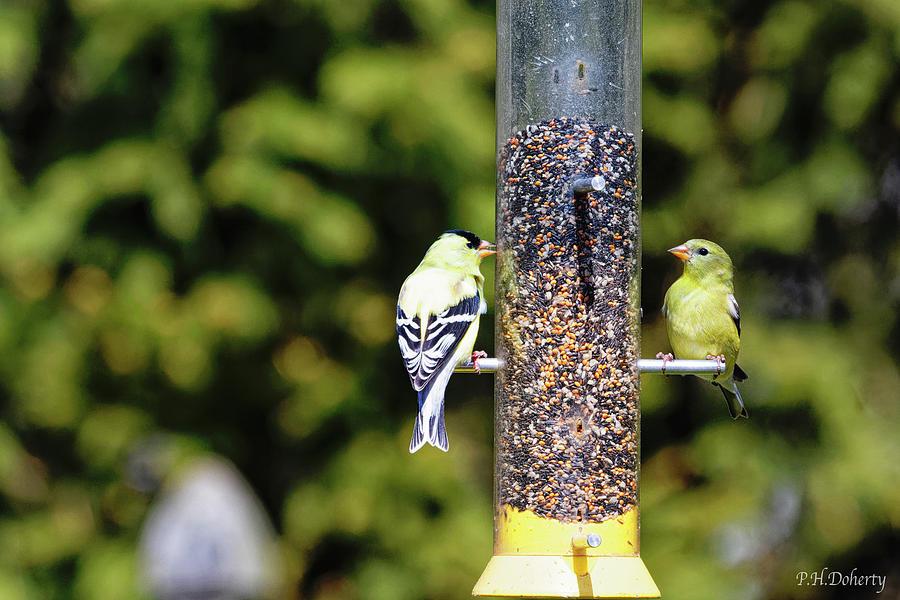 Goldfinch Couple Photograph