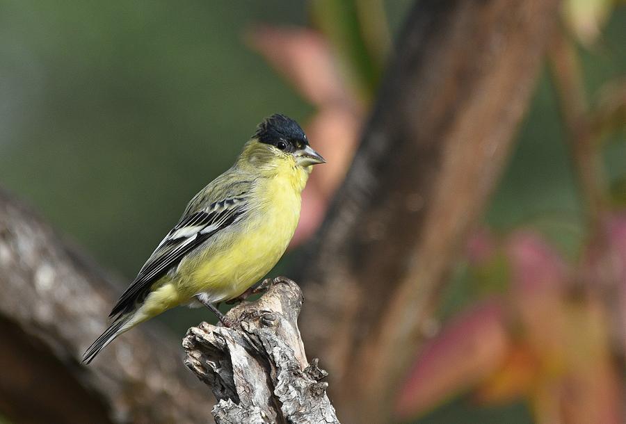 Goldfinch In Autumn by Fraida Gutovich