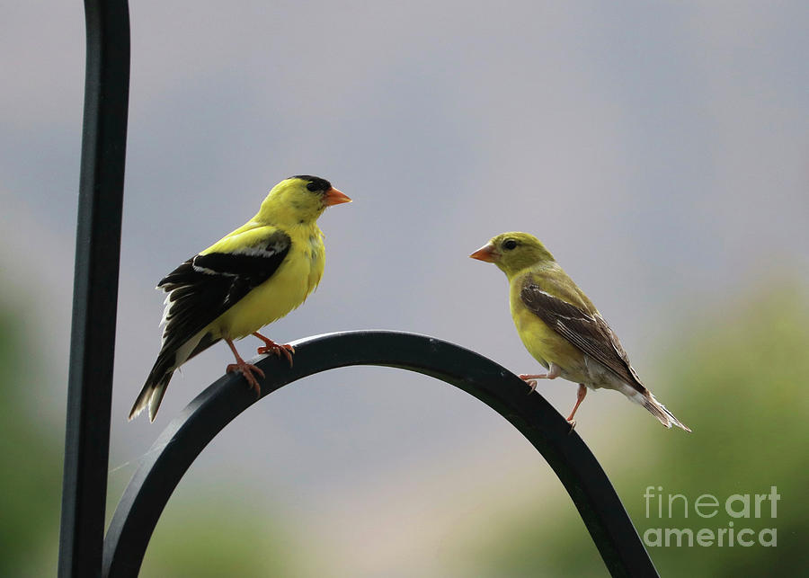 Goldfinch Pair Photograph