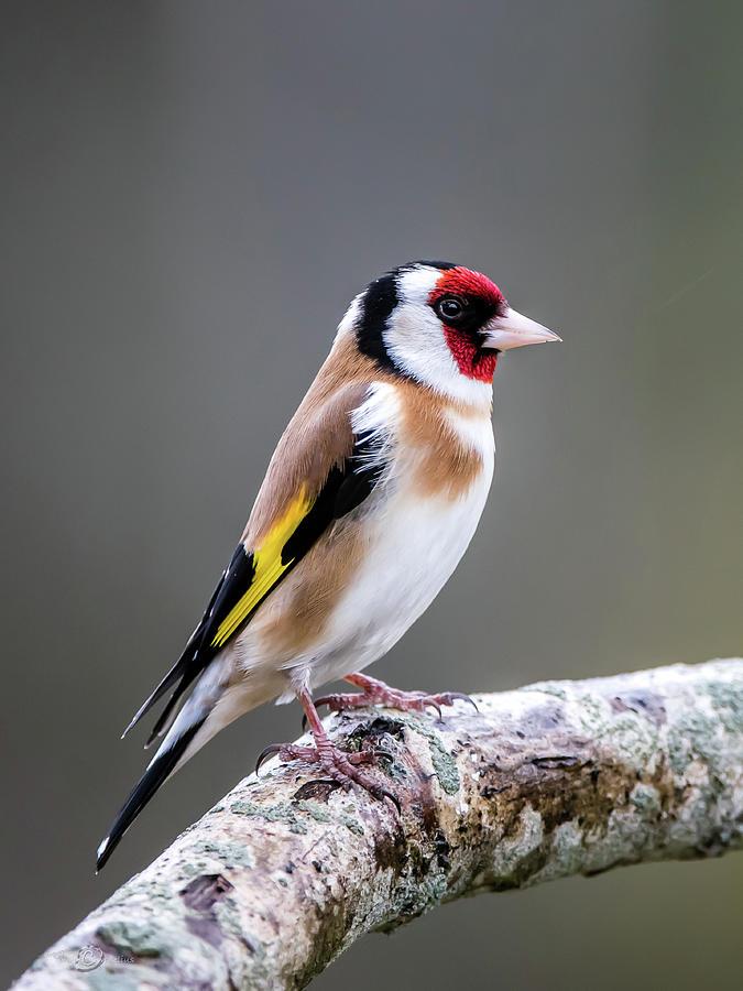 Goldfinch Perching On An Oak Branch Photograph