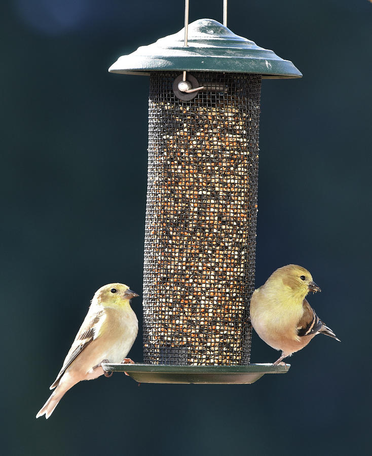 Goldfinches at the Feeder by Ben Foster