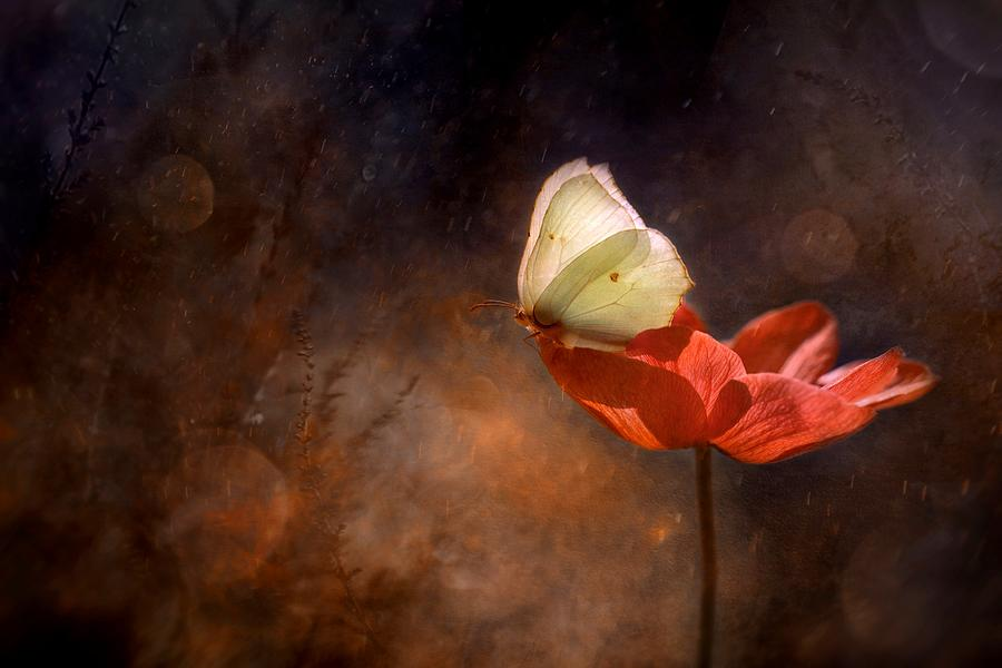 Gonepteryx Rhamni Butterfly On Red Anemon Photograph