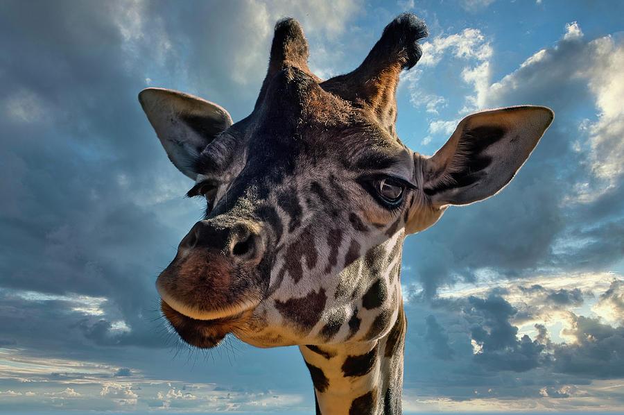 Good Morning, Fellow Giraffes by PAUL COCO