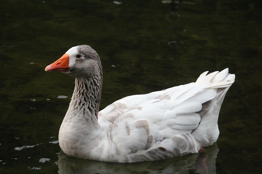 Goose Photograph - Goose On Lake Lucerne by Callen Harty