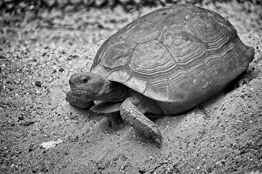 Gopher Tortoise by Steve DaPonte