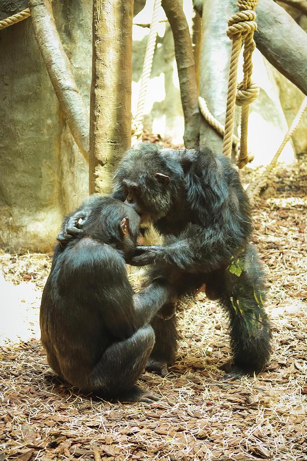 Gorilla Kiss Photograph