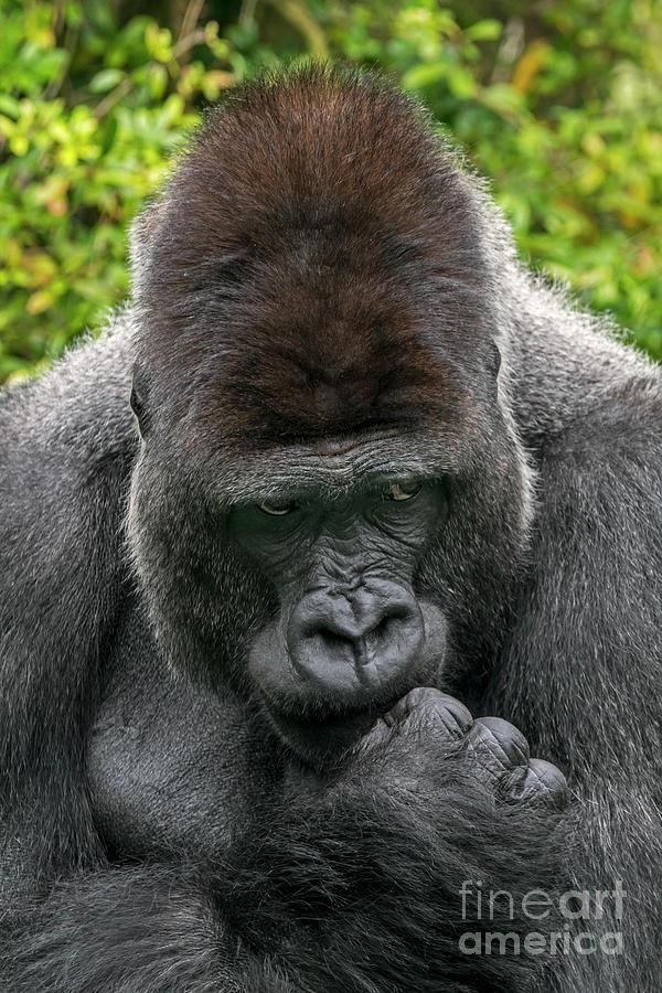 Gorilla Silverback by Arterra Picture Library