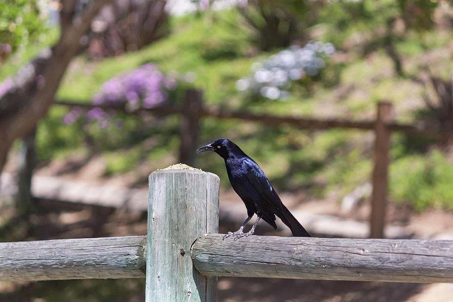 Grackle Eating Seeds by Alison Frank